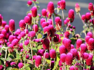 武陵源旅游:花儿更艳 城市更绿