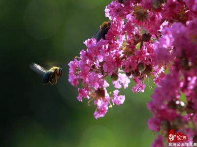 张家界黄龙洞景区 紫薇花开迎客来