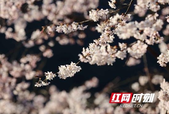 张家界武陵源十里画廊 樱花盛开引客来